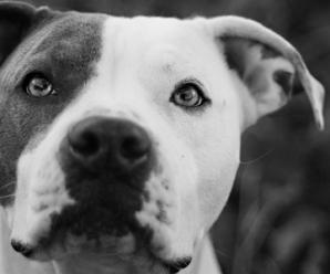 pure breed pitbulls